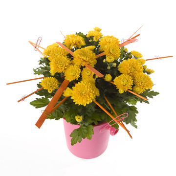 Chrysanthemum-1.jpg