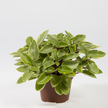 Peperomia_pixie_red.JPG