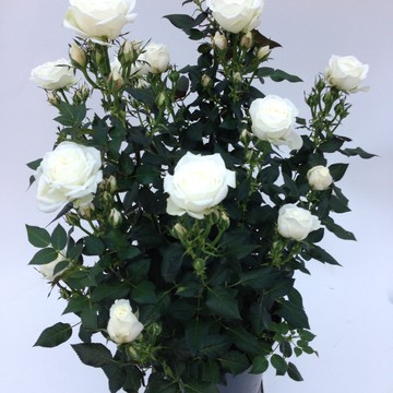 Rosa_hybrid_-_Sweet_day_-__Sweet_home_roses_-_Rosa_ApS_-_New_Plant_Ipm_2015.JPG