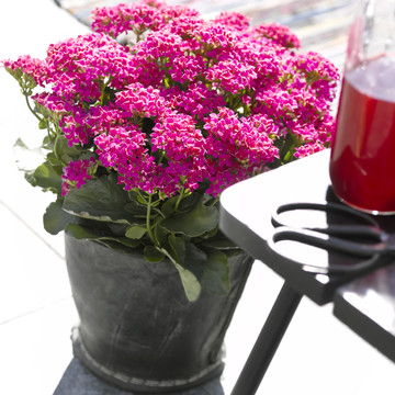 Kalanchoe_Outdoor-Queen6.jpg