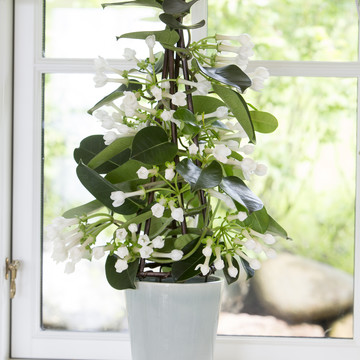 Stephanotis_0001.JPG