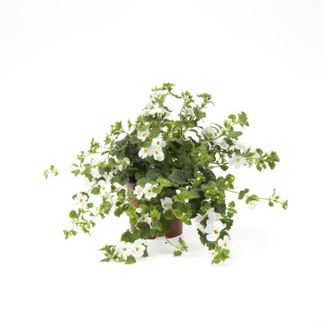 Bacopa_white.jpg