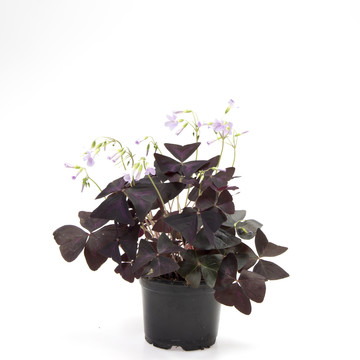 Oxalis_triangularis.jpg