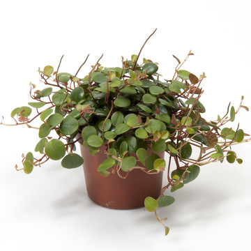 Peperomia_pepperspot.jpg
