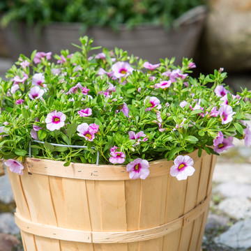 Calibrachoa-Neo_Pink___Red_Eye_2.jpg