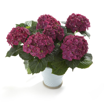 Hydrangea_Hot_Red_Blue.jpg