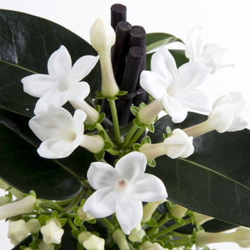 Stephanotis_close_up_1.jpg