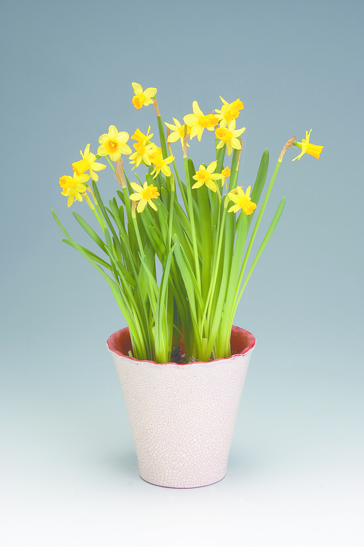 narcissus_cyclamineus.tif