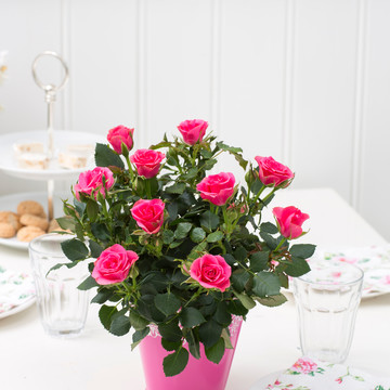 Rosa_hybrid_Pink_Moscow_Forever_-_Roses_Forever_-_Rosa_ApS_-_New_Plant_Ipm_2015.jpg