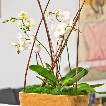 Phalaenopsis_Sagina_Timeless_Bloom.JPG