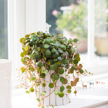 20120626Y61A0193-Peperomia_Pepperspot.jpg