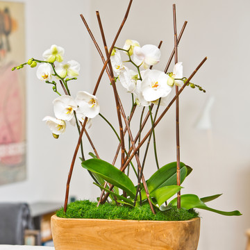 Sagina_Phalaenopsis_Timeless_Bloom.JPG