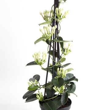 Stephanotis_1.jpg