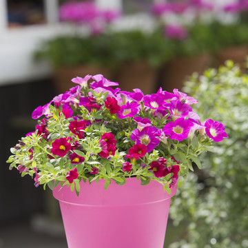 Calibrachoa_Dark_Red_-_Petunia_Hot_Pink_Lemonade.JPG