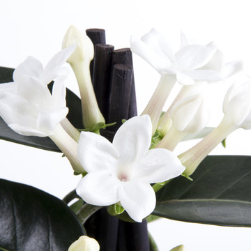 Stephanotis_close_up_2.jpg
