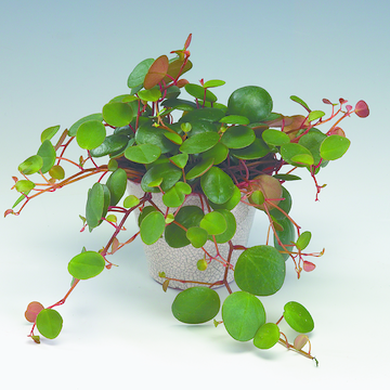 peperomia_'pepperspot'.tif
