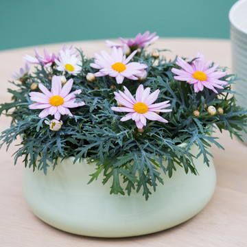 Argyranthemum_frutescens_mini_.jpg