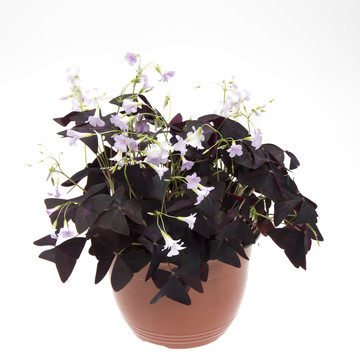 Oxalis_triangularis_06.jpg