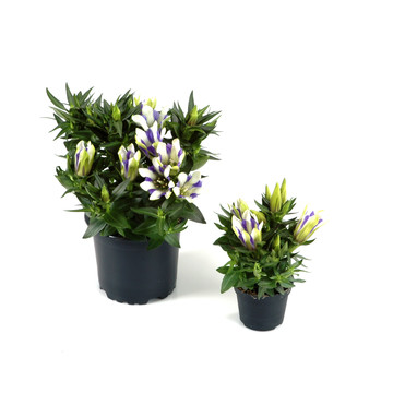 Gentiana-scabra_blue-stripes.jpg