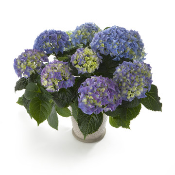 Hydrangea_Early_Blue.jpg