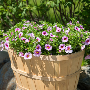 Calibrachoa-Neo_Pink___Red_Eye_1.jpg
