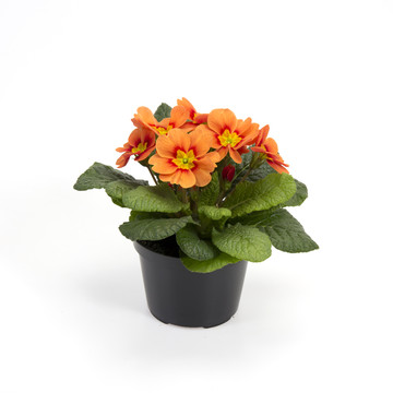 Primula_vulgaris_orange.jpg