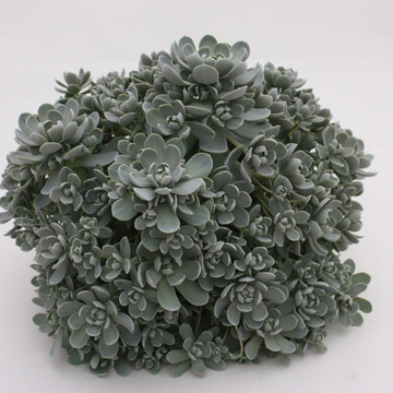 Orostachys close_up.jpg