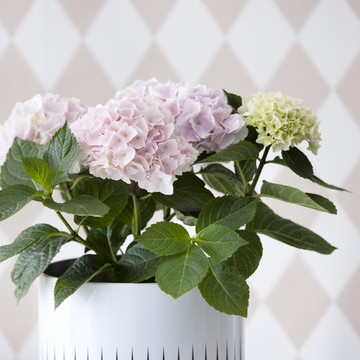 Light_Bloom_Hydrangea.jpg