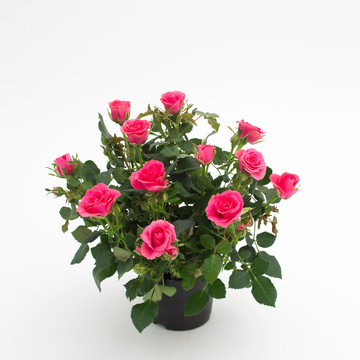 Rosa_hybrid_Pink_Moscow_Forever_2_-_Roses_Forever_-_Rosa_ApS_-_New_Plant_Ipm_2015.jpg