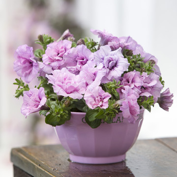 Petunia_Double_Surprice_Soft_Pink_2.JPG