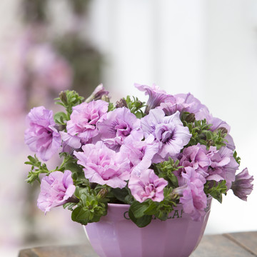 Petunia_Double_Surprise_Soft_Pink_1.JPG