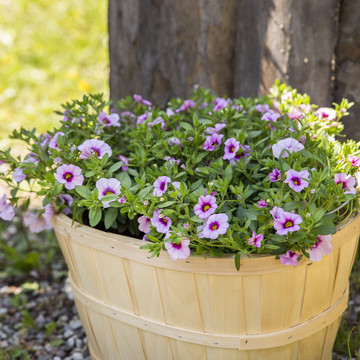 Calibrachoa_Neo_Pink___Red_Eye.JPG