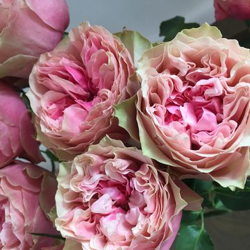 Rosa_hybrid_Cut-Rose_Rosa_Loves_Me_R__With_Heart_and_Soul_TM__-_Roses_forever_ApS.JPG