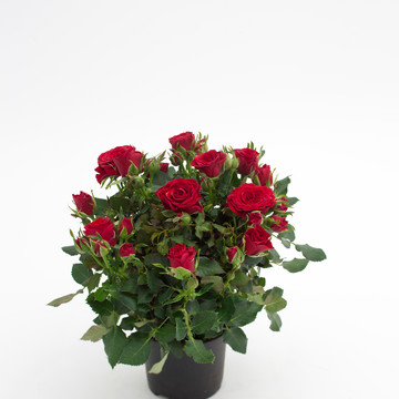 Rosa_hybrid_Moscow_by_night_Forever_3_--_Roses_Forever_-__Rosa_ApS_-_New_Plant_Ipm_2015.jpg