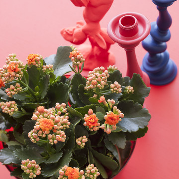 Colourful_Spirit_Kalanchoe.jpg