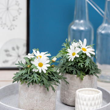 Argyranthemum_frutescens_mini_01.jpg