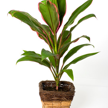 Cordyline fruticosa MF065.jpg