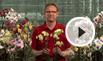 Phalaenopsis phalaenopsis