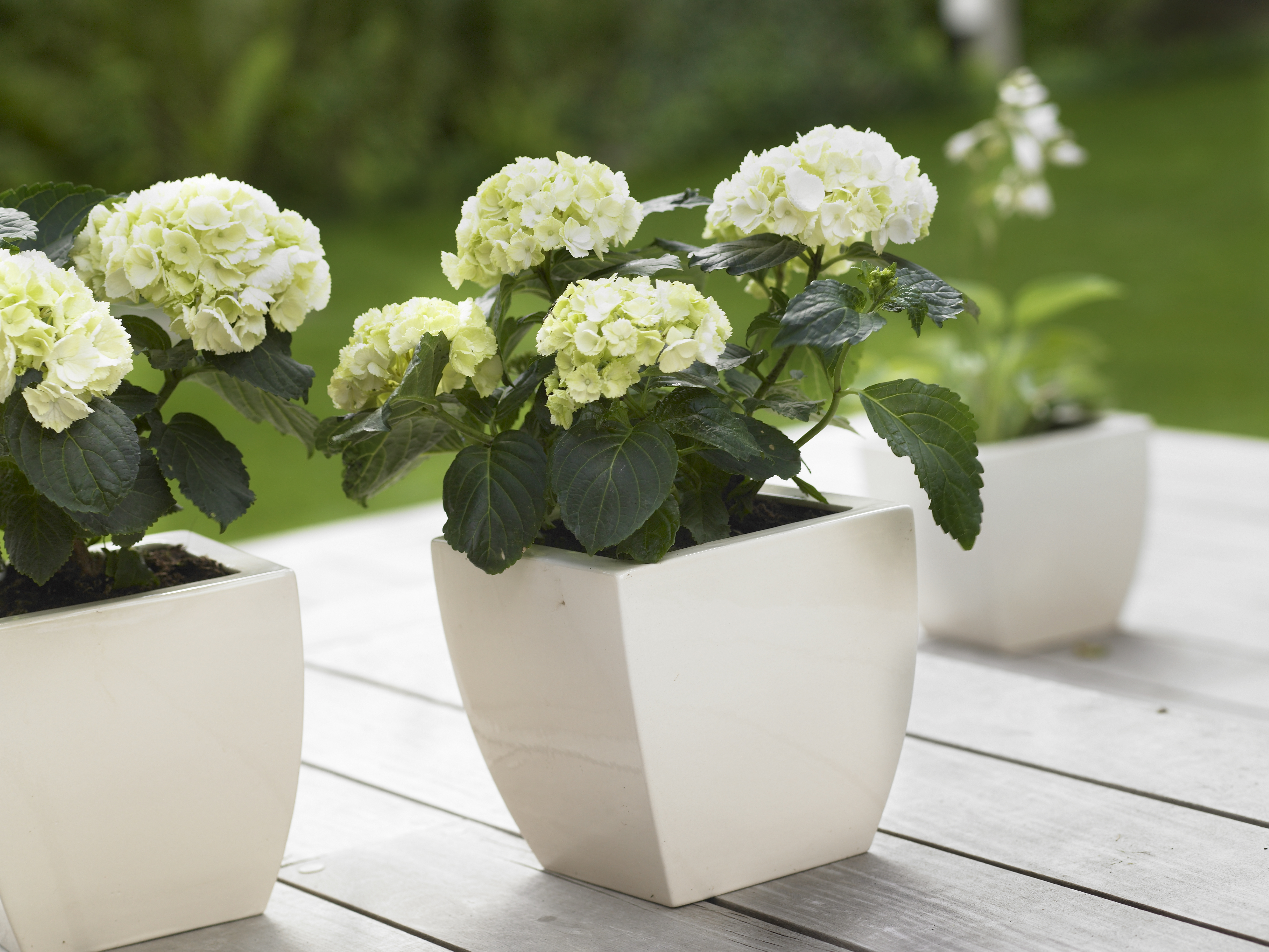 planter hortensia gallery of hortensia plante with planter hortensia bouture prte planter with. Black Bedroom Furniture Sets. Home Design Ideas