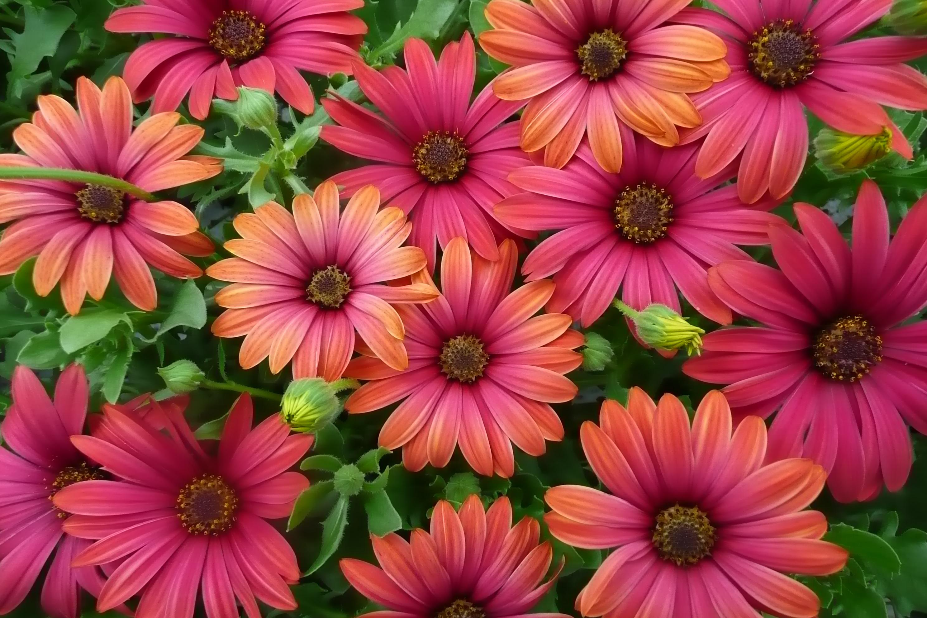 Floradania marketing pflanzen Where did daisies originate