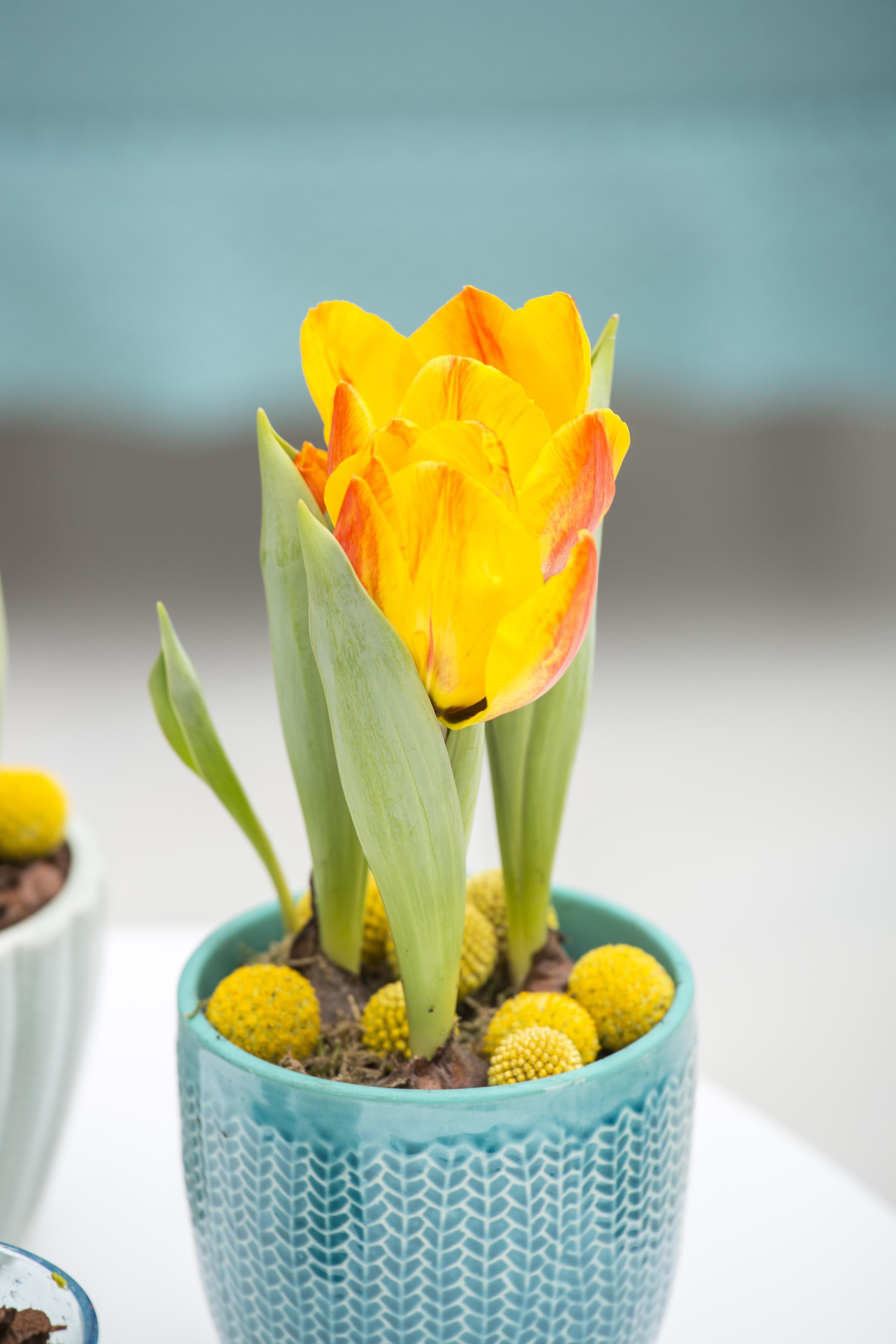 Tulipa_hybrid_.jpg
