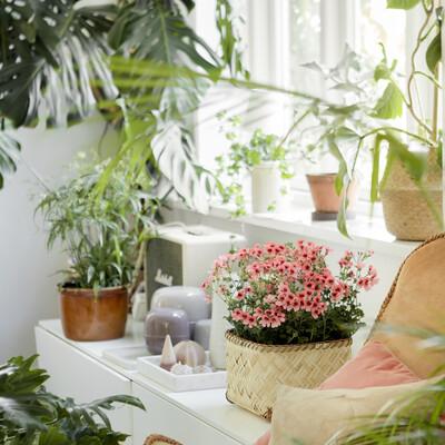 Green Living: Pelargonier i Boligen
