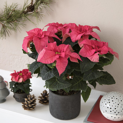 Poinsettia til Efterår, Halloween, Advent og Jul