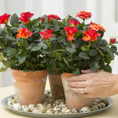 Dejlige roser inde og ude