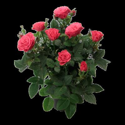 Ocean of Roses