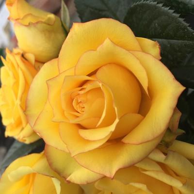 Nanjing™ Roses Forever®