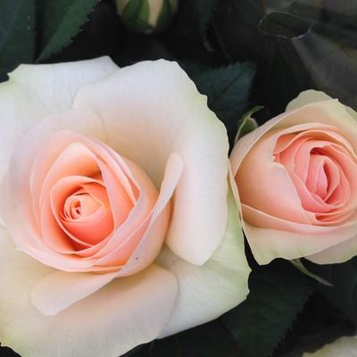 Rosa hybrid Sandbanks Sunset™ Roses Forver®