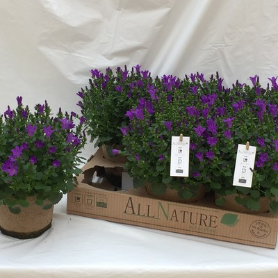 Campanula port. All Nature®