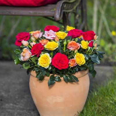 Socorro Roses Forever®