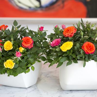 Råhygge med roser